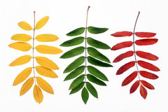 Autumn leaves of a mountain ash. On a white background Royalty Free Stock Image
