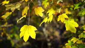 Autumn leaves in the wind. Autumn leaves are moved back and forth in the wind and illuminated by the sun stock video