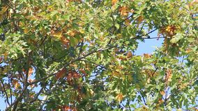 Autumn leaves moving  in the wind stock footage