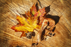 Autumn Leaves and mushroom over wooden background Royalty Free Stock Photography