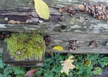 Autumn leaves, mushrooms, moss and lichen on old dark logs. royalty free stock photography