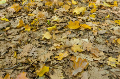 Autumn leaves on a natural ground Royalty Free Stock Image