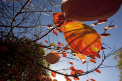 Autumn Leaves. From neighbourhood Royalty Free Stock Images
