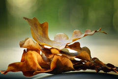 Autumn leaves oak acorns Royalty Free Stock Images