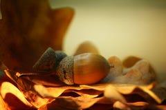 Autumn leaves oak acorns Royalty Free Stock Image