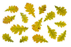 Autumn leaves of oak isolated on white Royalty Free Stock Photos