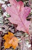 Autumn leaves oak maple Stock Images