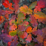 Autumn leaves of oak Royalty Free Stock Image