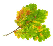 Autumn leaves of an oak, top surface Stock Photo