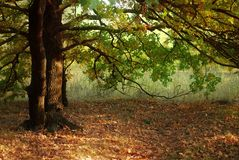 Autumn leaves and oak tree. Autumn leaves of oak tree. Evening sun beams Royalty Free Stock Photography