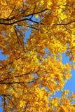 Autumn leaves on oak tree Royalty Free Stock Photo