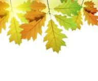 Autumn leaves of oak tree Royalty Free Stock Photo