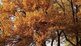 Autumn leaves on the oak trees. Autumn gold, yellow, red leaves on the oak trees stock footage