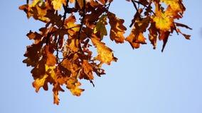 Autumn leaves on the oak trees. Autumn gold, yellow, red leaves on the oak trees stock video