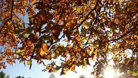 Autumn leaves on the oak trees. Autumn gold, yellow, red leaves on the oak trees stock video footage