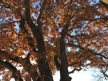 Autumn Leaves In Oklahoma. The sun shines through and magnifies the beauty of the different shades of red, yellow and brown Leaves on a crisp fall day Oklahoma Stock Photos