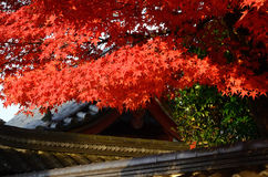 Autumn leaves at old Japanese temple, Kyoto. The natural scene of leaves changing their colors into red at Japanese temple, Kyoto Japan Stock Photos