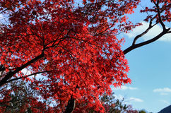 Autumn leaves at old Japanese temple, Kyoto. The natural scene of leaves changing their colors into red at Japanese temple, Tenryuji temple in  Arashiyama Kyoto Stock Images