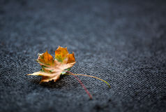 Autumn Leaves one or two freely laid on dark carpet Royalty Free Stock Images
