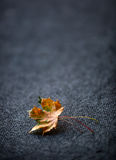 Autumn Leaves one or two freely laid on dark carpet.  Royalty Free Stock Photos