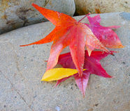 Autumn Leaves op een Rots Stock Afbeeldingen