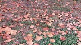 Autumn leaves. Autumn orange leaves fall on the ground to find the lucky clover Royalty Free Stock Photography