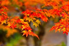 Autumn Leaves, Orange Gradation Leaves stock images