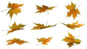 Autumn leaves orange - isolated on white background. Autumn leaves different shapes  - isolated on white background Royalty Free Stock Images