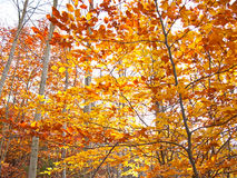 Autumn leaves:orange, red and yellow in some trees Stock Image