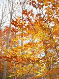 Autumn leaves:orange, red and yellow in some trees Royalty Free Stock Photography