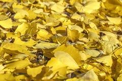 Autumn Leaves outono encantador dourado fotografia de stock royalty free