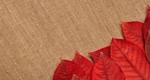 Autumn leaves over burlap background Stock Images