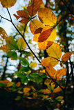 Autumn leaves over forest background Stock Image