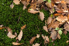 Autumn leaves over a layer of a beautiful green moss royalty free stock photos