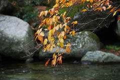 Autumn leaves over river. Autumn leaves on branch hanging over river with rocks in background Royalty Free Stock Image