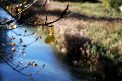 Autumn leaves over the river. Some autumn leaves on a tree over a river Royalty Free Stock Image
