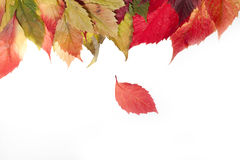 Autumn leaves over white Stock Photo