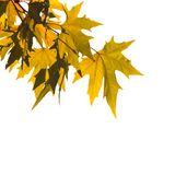 Autumn Leaves Over White Royalty Free Stock Images