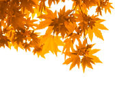 Autumn leaves over white, very shallow focus Royalty Free Stock Image