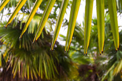 Autumn leaves of a palm tree with backlighting. Chusan palm leaves, fan, with some damaged ends and backlit Stock Photography