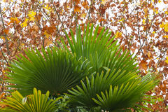 Autumn Leaves of a Palm Tree Stock Photos