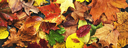 Autumn leaves, panorama Royalty Free Stock Photography