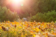 Autumn leaves in park Royalty Free Stock Image