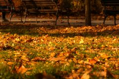 Autumn leaves , park benches, green grass and sun rays. Autumn leaves , park benches green grass and sun rays . Yellow leaves on the grass lit by the rays of the Royalty Free Stock Photo