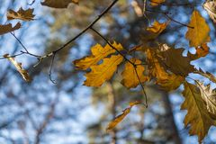 Autumn leaves in autumn park . leaf maple background. Russia royalty free stock image