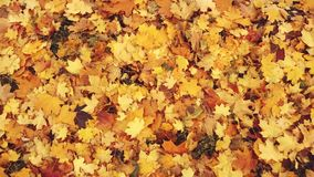 Autumn leaves in the park. Red, yellow and green leaves are falling to the ground. The wind blows on the lying multi stock video