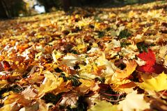 Autumn. Leaves in park. Selective focus, shallow DOF royalty free stock photography