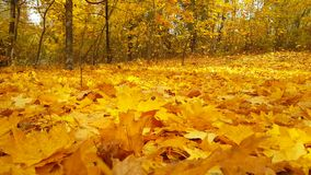 Autumn leaves park sun background breeze. Autumn leaves sun breeze background park stock video footage