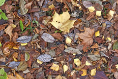 Autumn leaves on a path in the  forest. Royalty Free Stock Photography