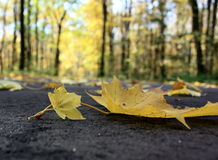 Autumn leaves on pavement. Close-up Royalty Free Stock Images
